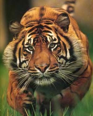 Атакующий тигр